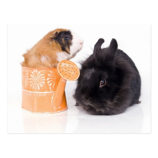 rabbit and guinea pig post cards