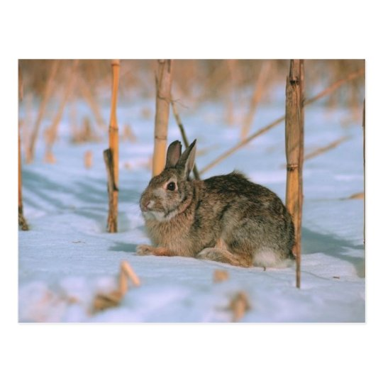 Rabbit in the Snow Postcard