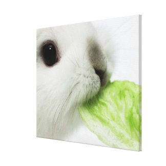 Rabbit nibbling lettuce leaf close-up stretched canvas prints