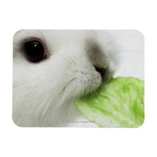 Rabbit nibbling lettuce leaf, close-up magnet