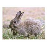 Rabbit Picture Postcard