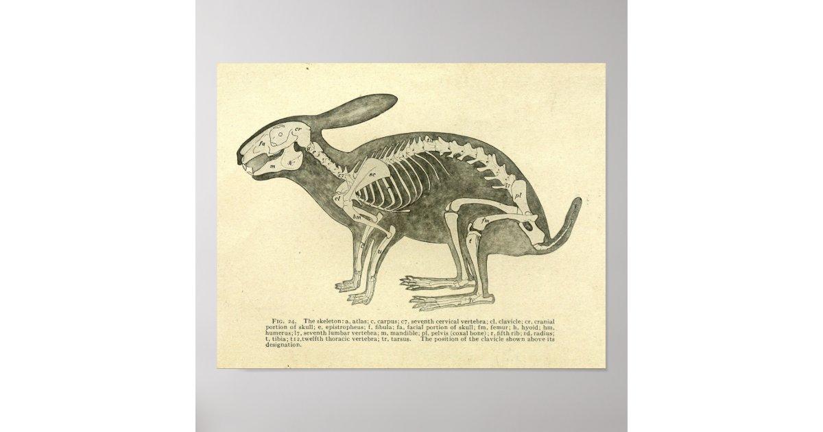 Rabbit Skeleton Anatomy Vintage Veterinary Print Zazzle