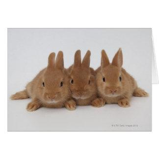 Rabbits.Netherland Dwarfs. Card