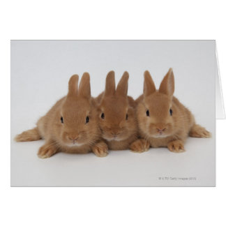 Rabbits.Netherland Dwarfs. Cards