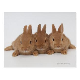 Rabbits.Netherland Dwarfs. Post Cards