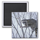 Raccoon 2 Inch Square Magnet
