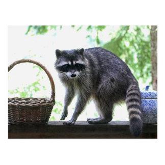 Raccoon and Cookie Jar Postcard