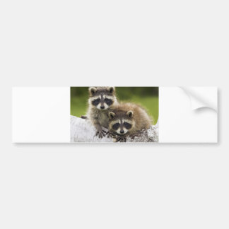 Raccoon Babies Bumper Sticker