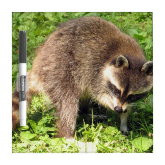 Raccoon Bathing Dry Erase Board