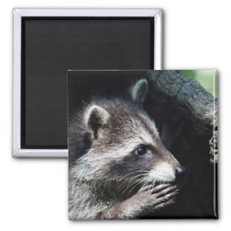 Raccoon Begging 2 Inch Square Magnet