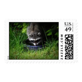Raccoon Drinking Postage