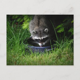 Raccoon Drinking Postcard postcard