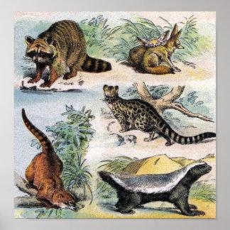 Raccoon, Fennec Fox, Coati, Genets & Ratel Poster
