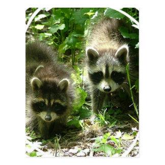 Raccoon Habitat Postcard