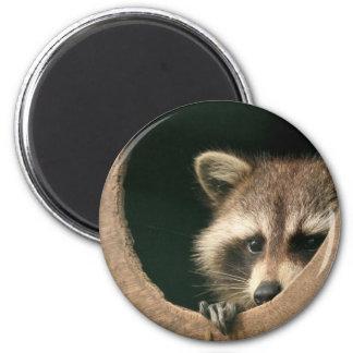 Raccoon hide-and-seek 2 inch round magnet