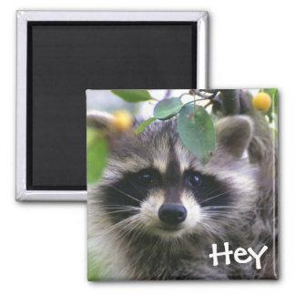 Raccoon in Crabapple Tree Magnet