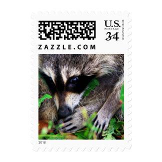 Raccoon In Kawarthas Postage Stamps