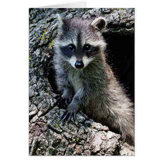 Raccoon in the Den Greeting Cards