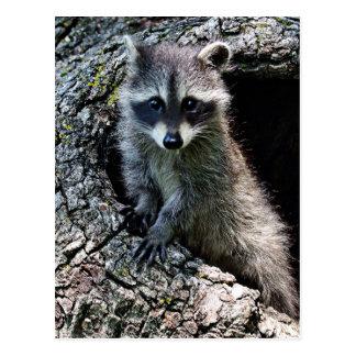 Raccoon in the Den Postcard