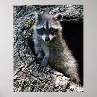 Raccoon in the Den Poster