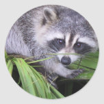Raccoon In The Plants Classic Round Sticker