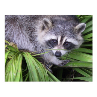 Raccoon In The Plants Post Cards