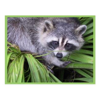 Raccoon In The Plants Postcard