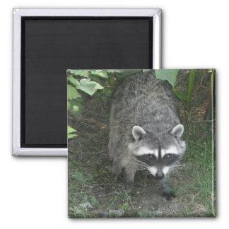 Raccoon Refrigerator Magnets