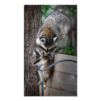 Raccoon Mother and Kit 3 Photo Print