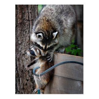 Raccoon Mother and Kit 3 Postcard