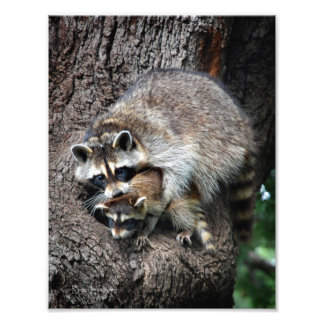 Raccoon Mother and Kit Photo Print
