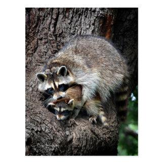 Raccoon Mother and Kit Postcard