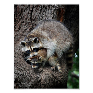 Raccoon Mother and Kit Poster