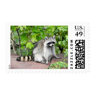 Raccoon on Old Car Hood Postage Stamp