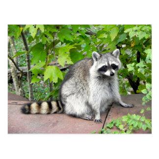 Raccoon on Old Car Hood Postcard