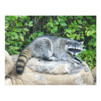 Raccoon on rock Postcard