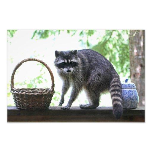 Raccoon Picture Photographic Print
