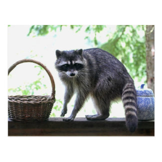 Raccoon Picture Postcard