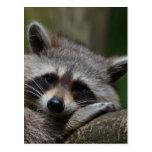 Raccoon Post Cards