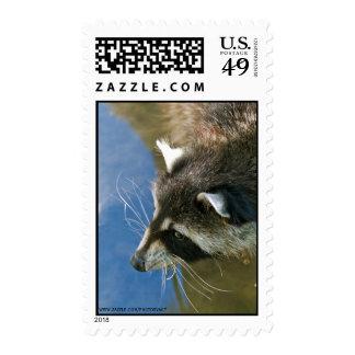 Raccoon Postage