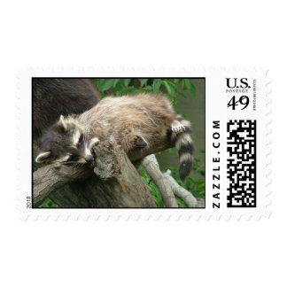 Raccoon Postage Stamps