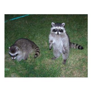 Raccoon Postcard