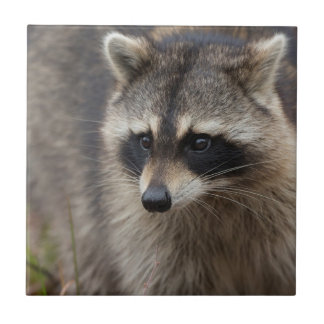 Raccoon, Procyon lotor, Florida, USA 1 Ceramic Tile