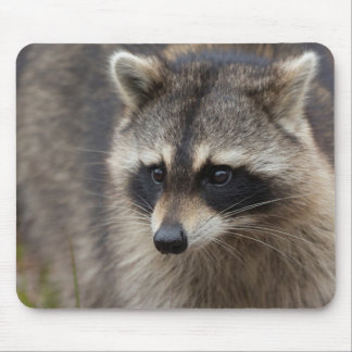 Raccoon, Procyon lotor, Florida, USA 1 Mouse Pad