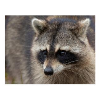 Raccoon, Procyon lotor, Florida, USA 1 Postcard