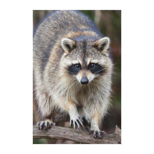 Raccoon Procyon lotor Florida USA 2 Canvas Print