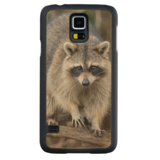 Raccoon, Procyon lotor, Florida, USA 2 Carved® Maple Galaxy S5 Slim Case