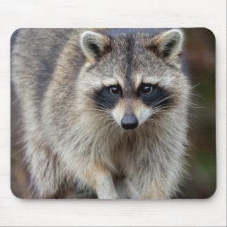 Raccoon, Procyon lotor, Florida, USA 2 Mouse Pad