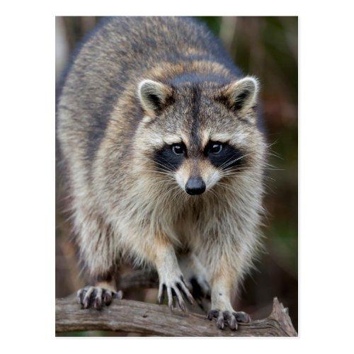 Raccoon Procyon lotor Florida USA 2 Postcard