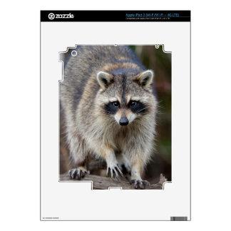 Raccoon, Procyon lotor, Florida, USA 2 Skin For iPad 3